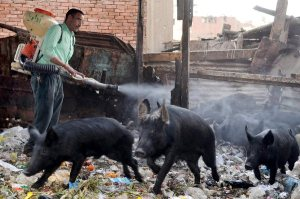 An Egyptian government health worker sprays pigs with disinfectant